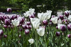 tulips-647603_640